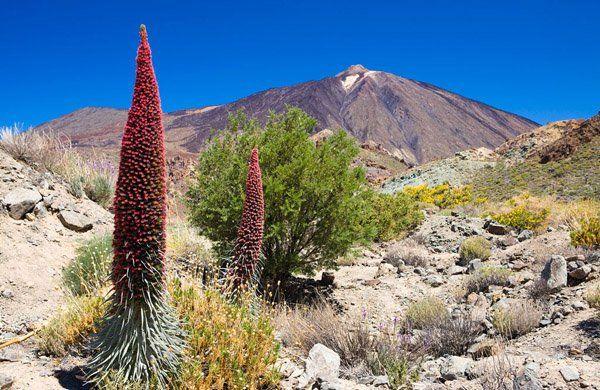 parque-nacional-teide-flora-06